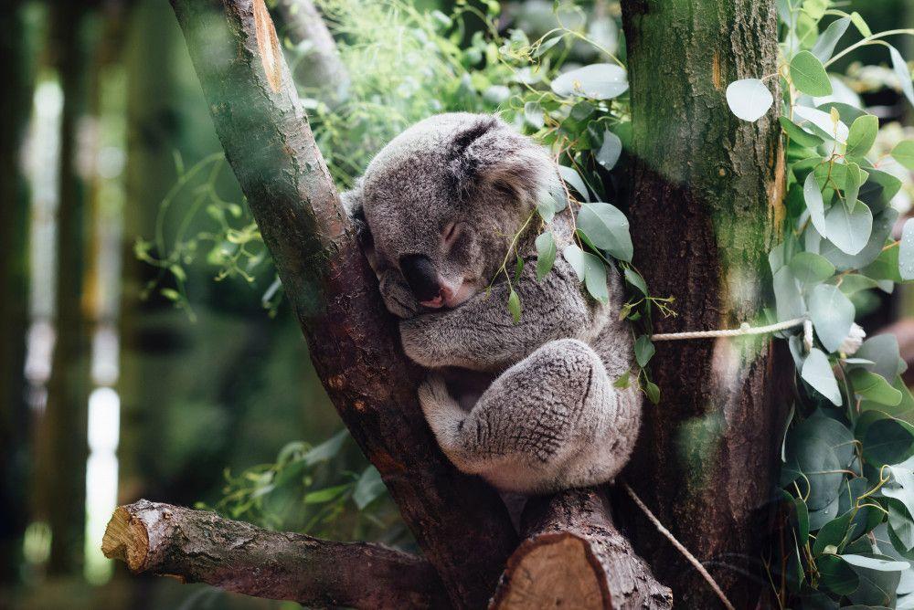 Koala bear asleep in a eucalyptus tree